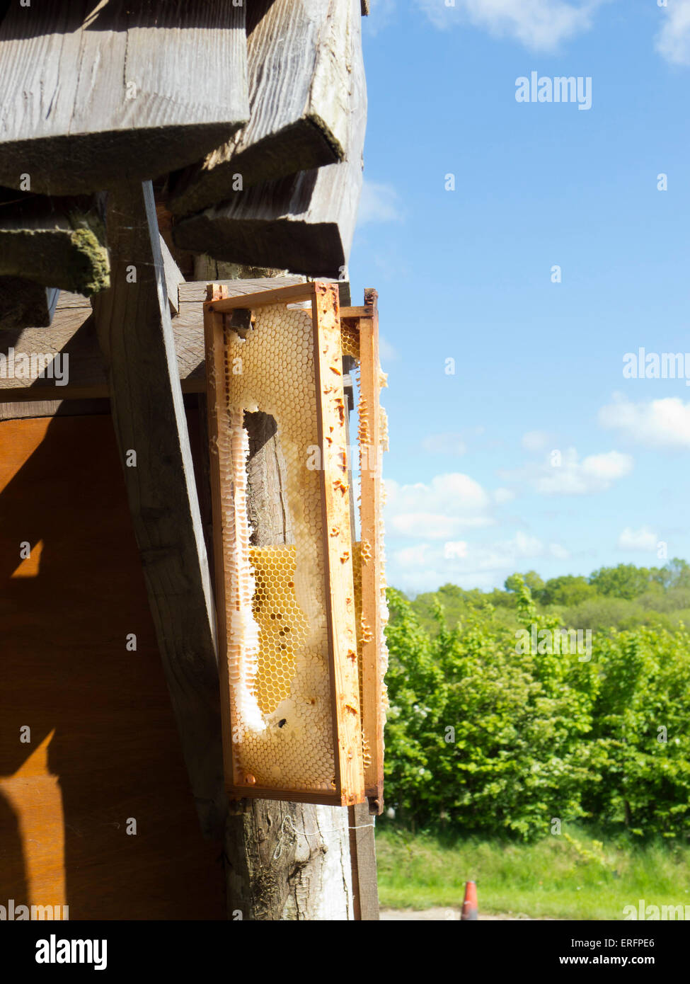Beehive honeycombs hung up for bees to recollect unharvestable honey - Stock Image
