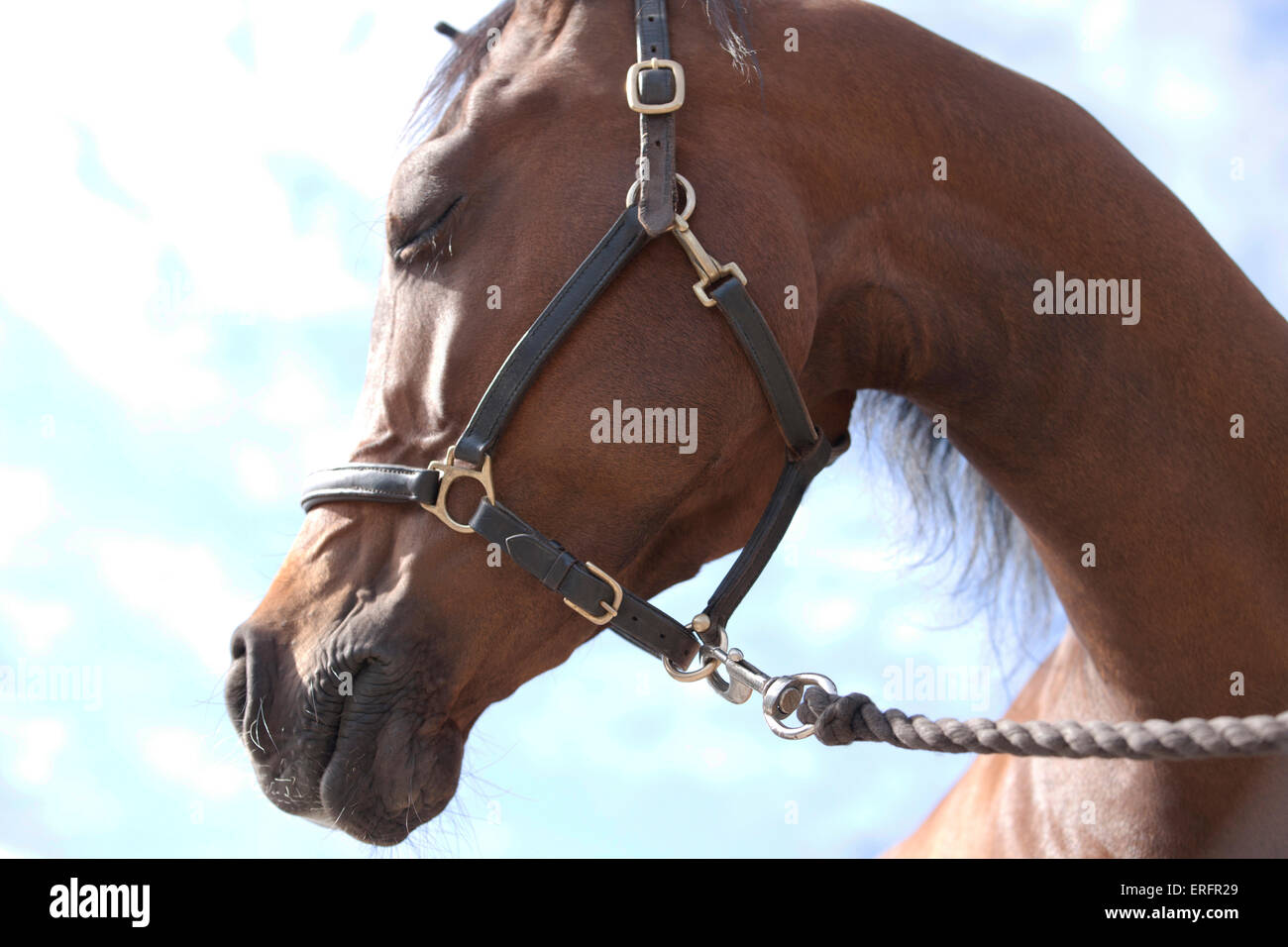 An Arabian horse with head turned and closed eyes - Stock Image