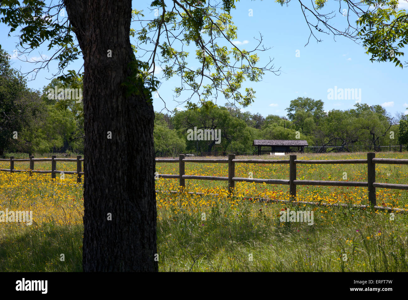A field of wildflowers welcomes visitors to the Sauer-Beckman Living History Farm, circa 1915-18, at the LBJ State - Stock Image