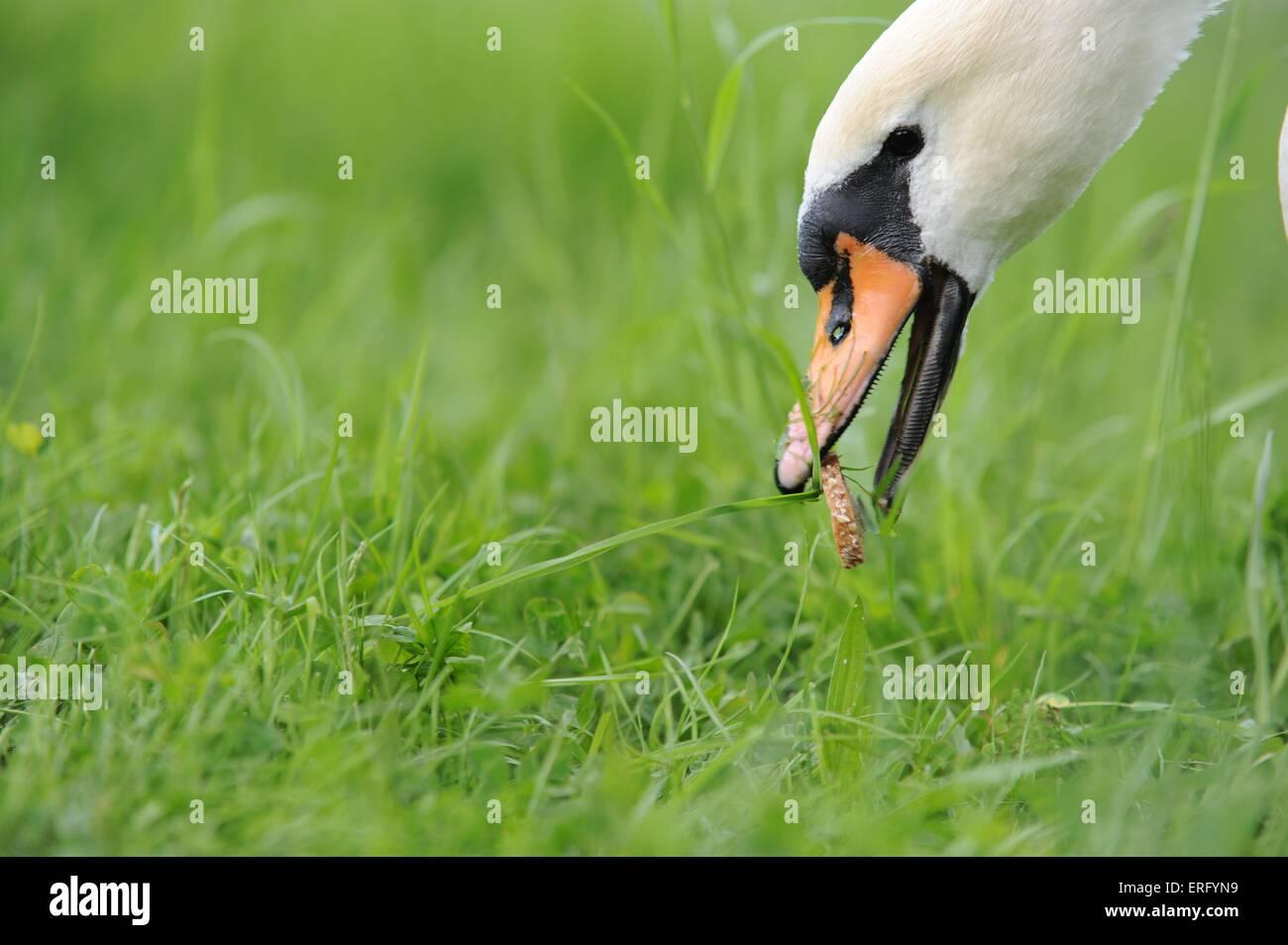 Swans Eating St...