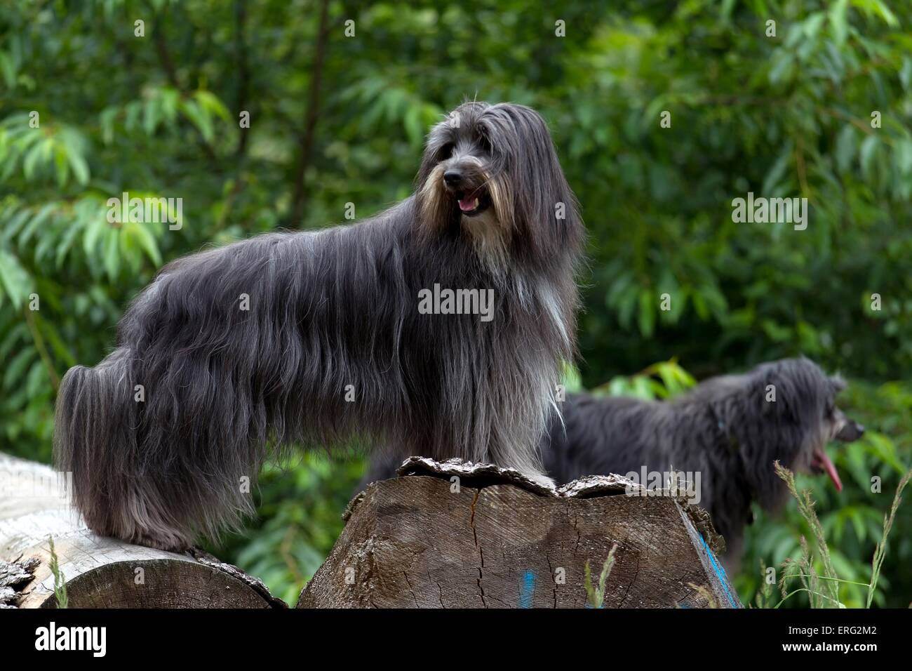 Pyrenean Sheepdogs - Stock Image