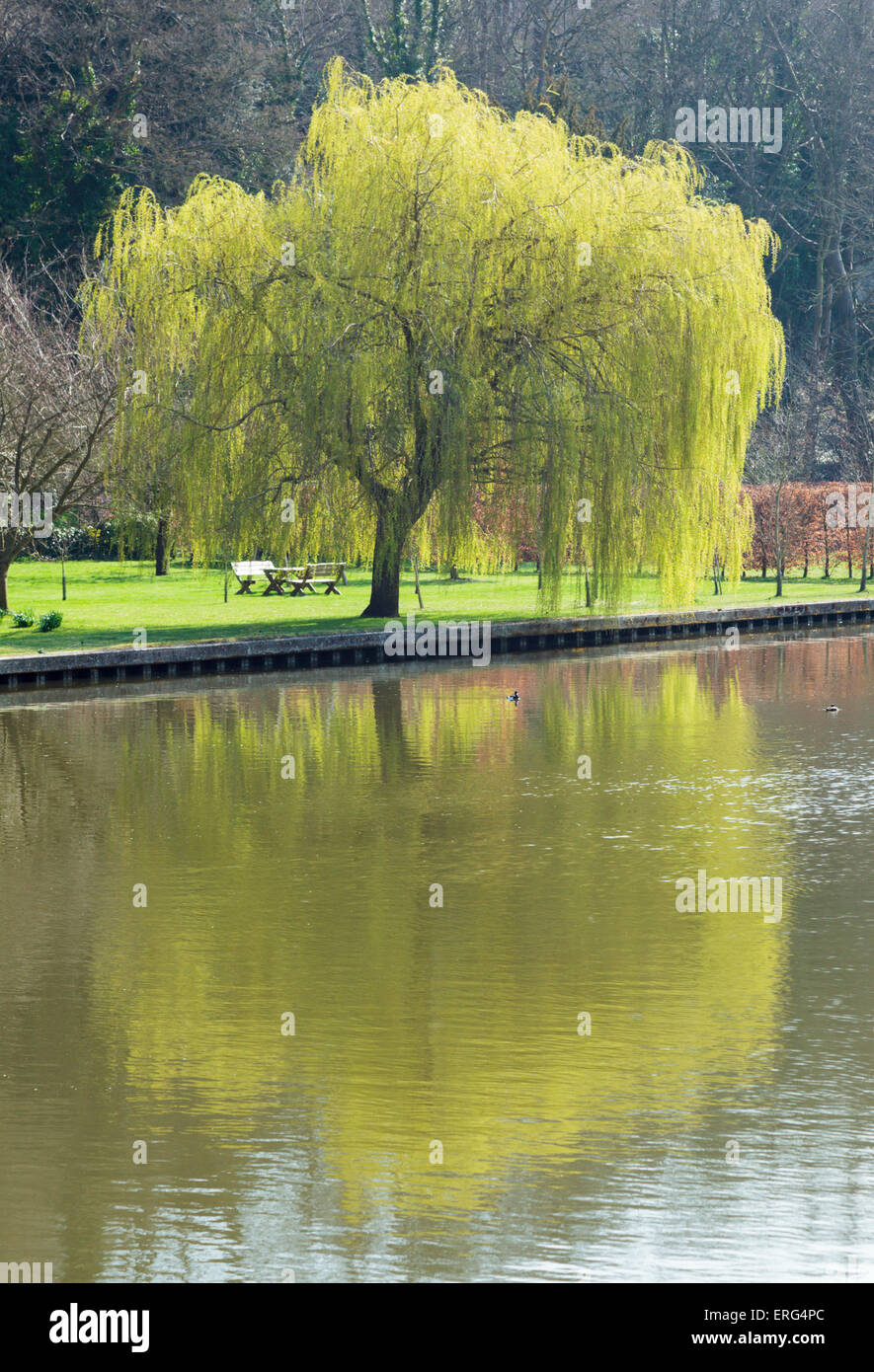 A Weeping Willow tree reflected in the River Thames near Henley on Thames - Stock Image