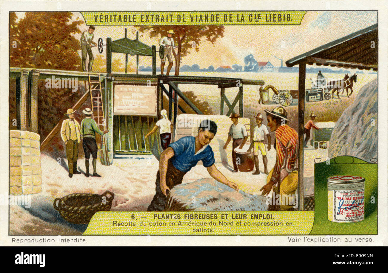 Cotton being harvested and compressed into bundles, North America. From Liebig series: Plantes Fibreuses et leur - Stock Image