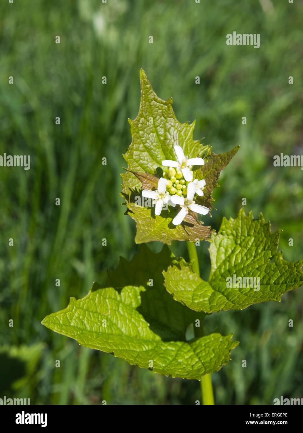 Close up of green foliage and white flowers, Alliaria petiolata, Garlic Mustard Stock Photo