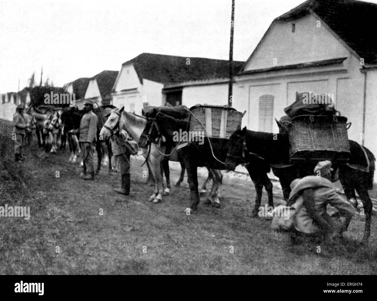 World War 1: Austro- Hungarian War Horses in the street of a Serbian village street, reading for marching. Published - Stock Image
