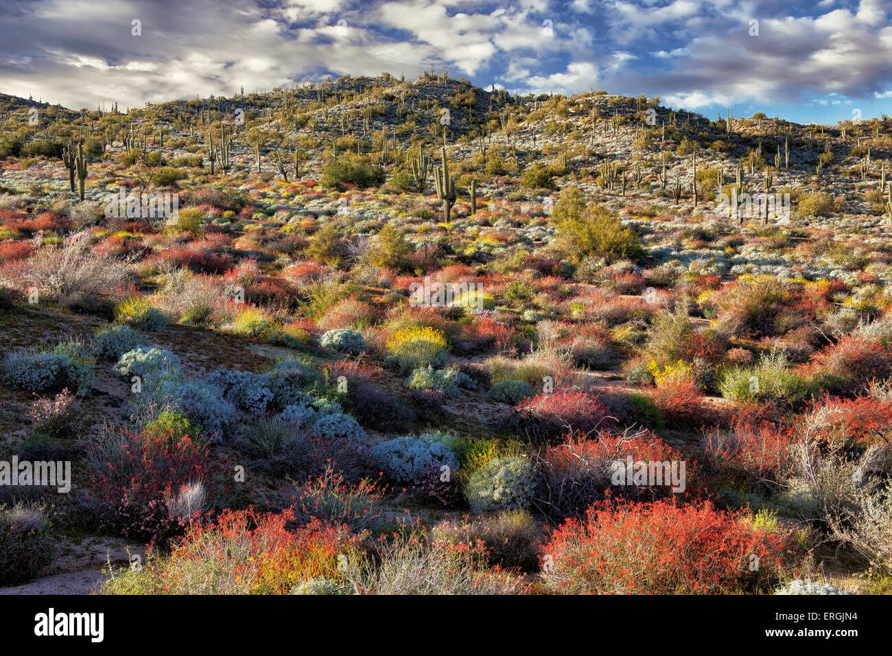 Red chuparosa dominate the spring bloom on the hills of the Tonto National Forest near Bartlett Lake, Arizona. - Stock Image