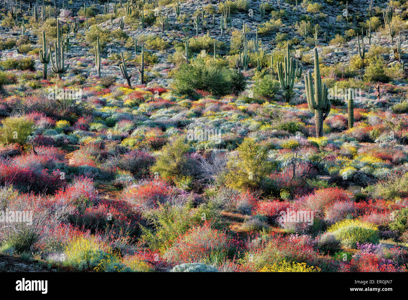 Evening light bathes the spring bloom of red chuparosa and yellow brittle bush on the hills near Bartlett Lake, - Stock Image