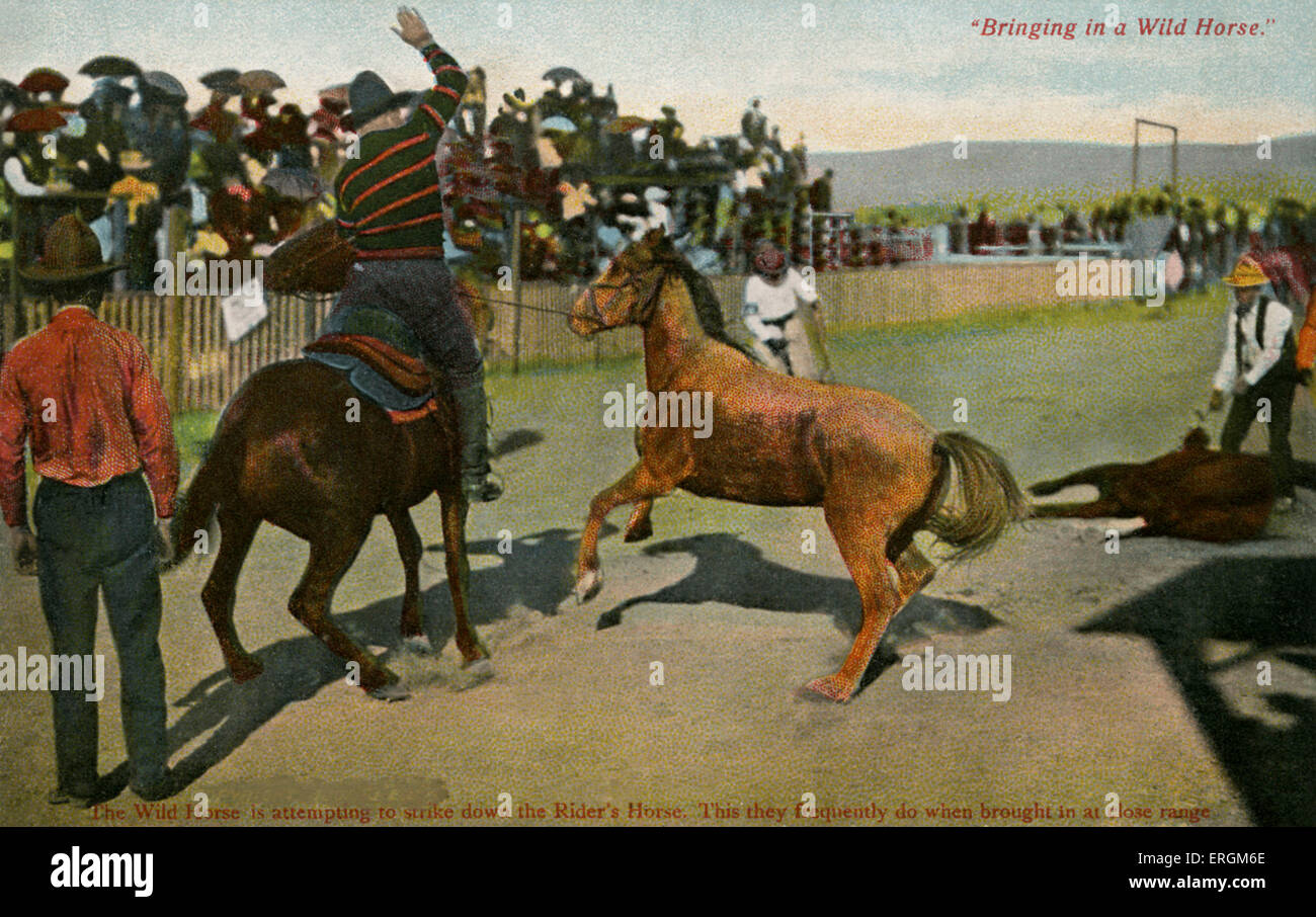 Rodeo With Wild Horse Captions Read Bringing In A Wild Horse And Stock Photo Alamy