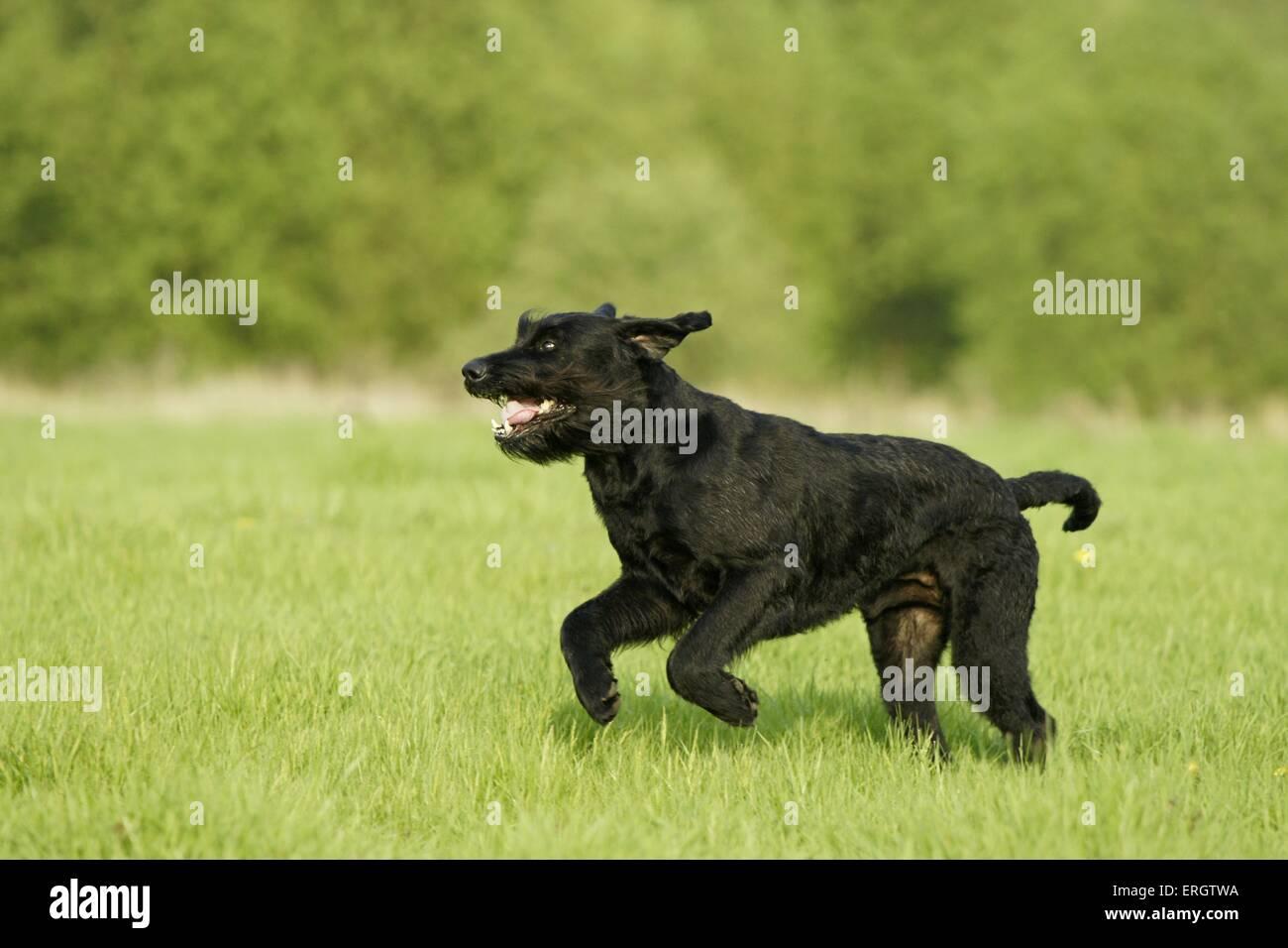 running Giant Schnauzer - Stock Image