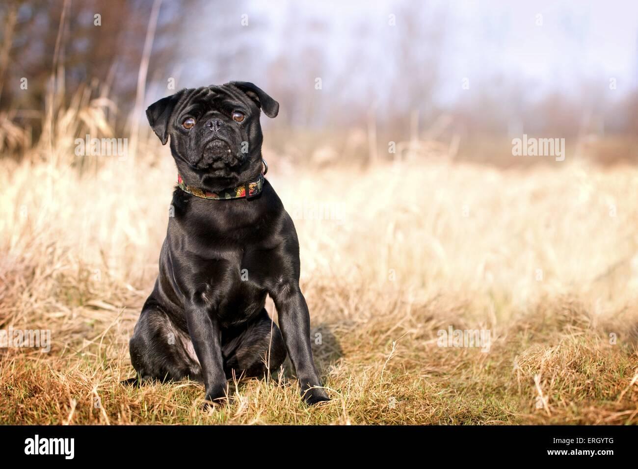 sitting pug - Stock Image