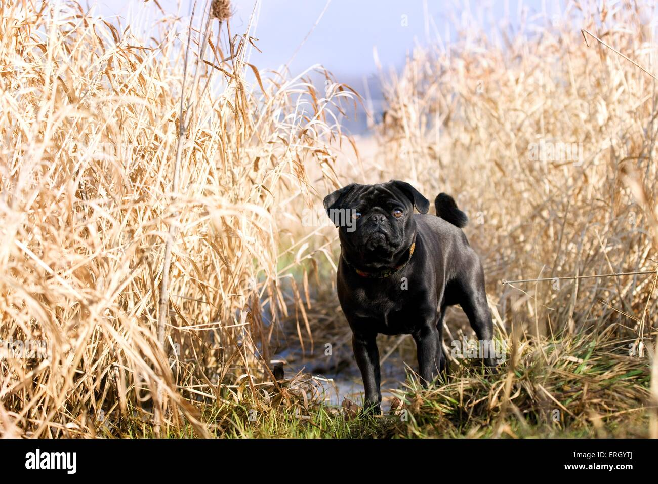 standing pug - Stock Image