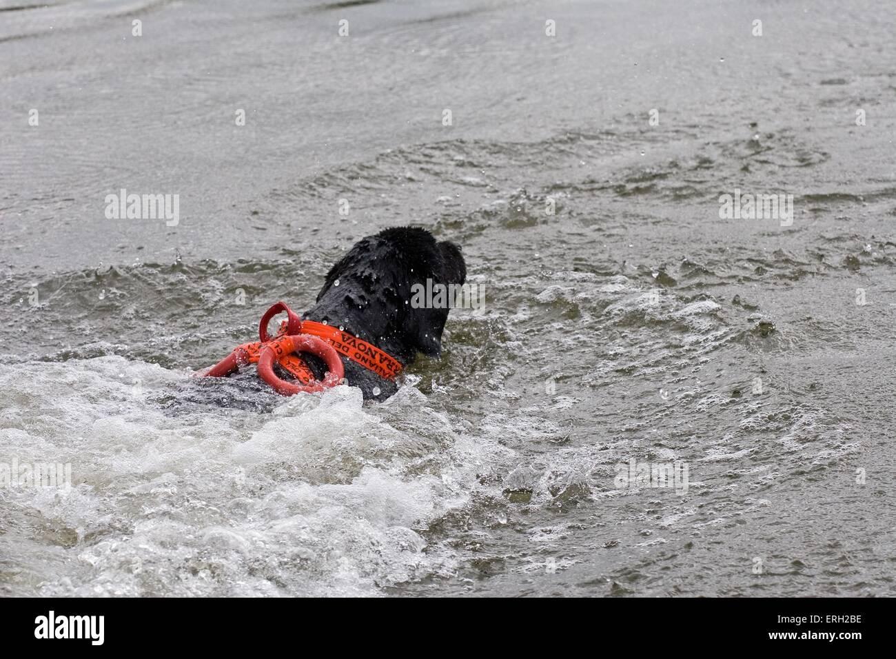 swimming rescue dog - Stock Image