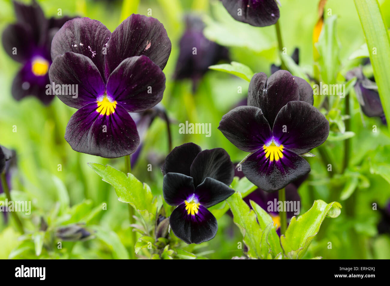 Dark velvet flowers of the diminutive Viola 'Bowles Black' Stock Photo
