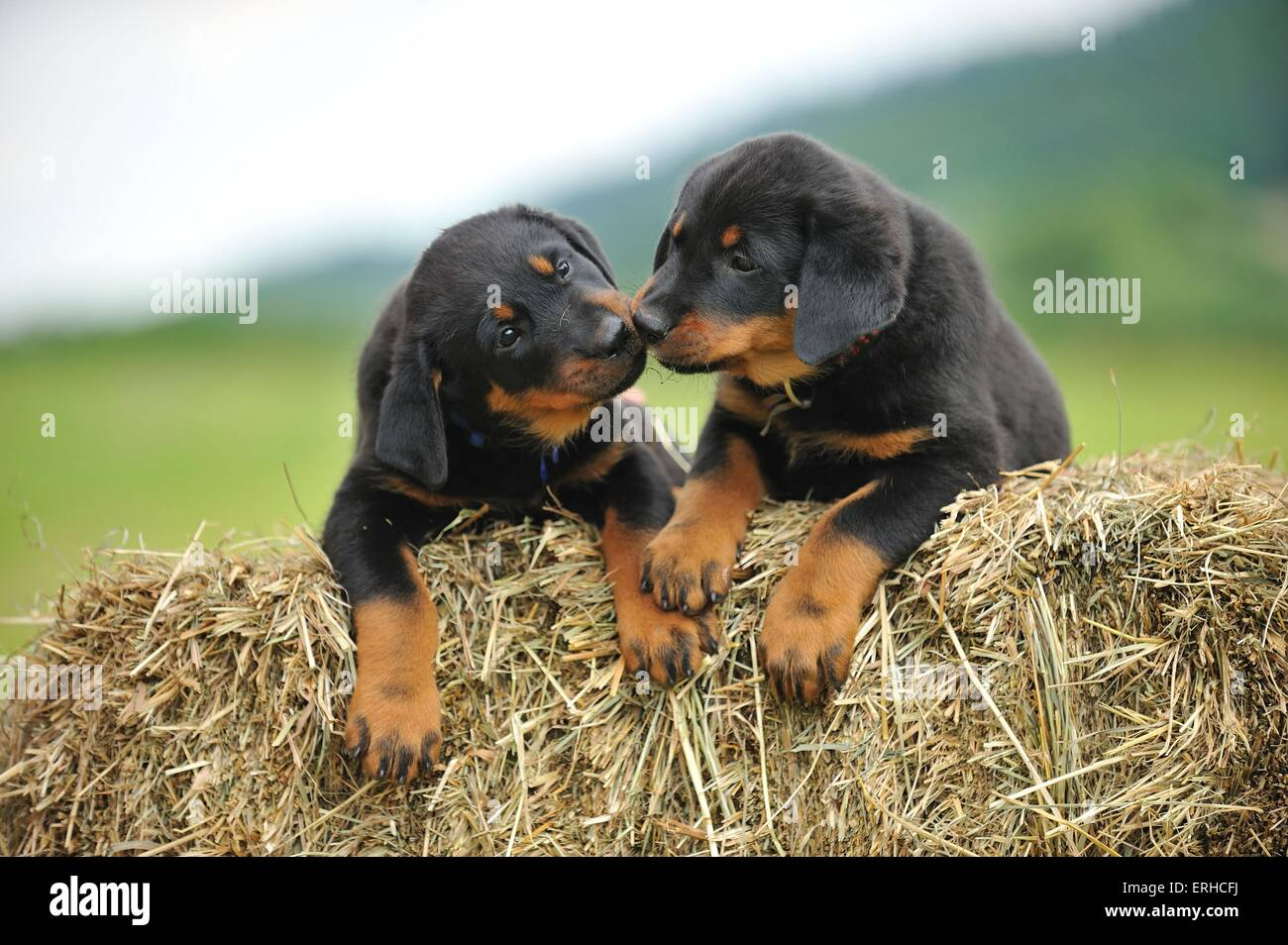 Beauceron Puppies Stock Photo 83361590 Alamy