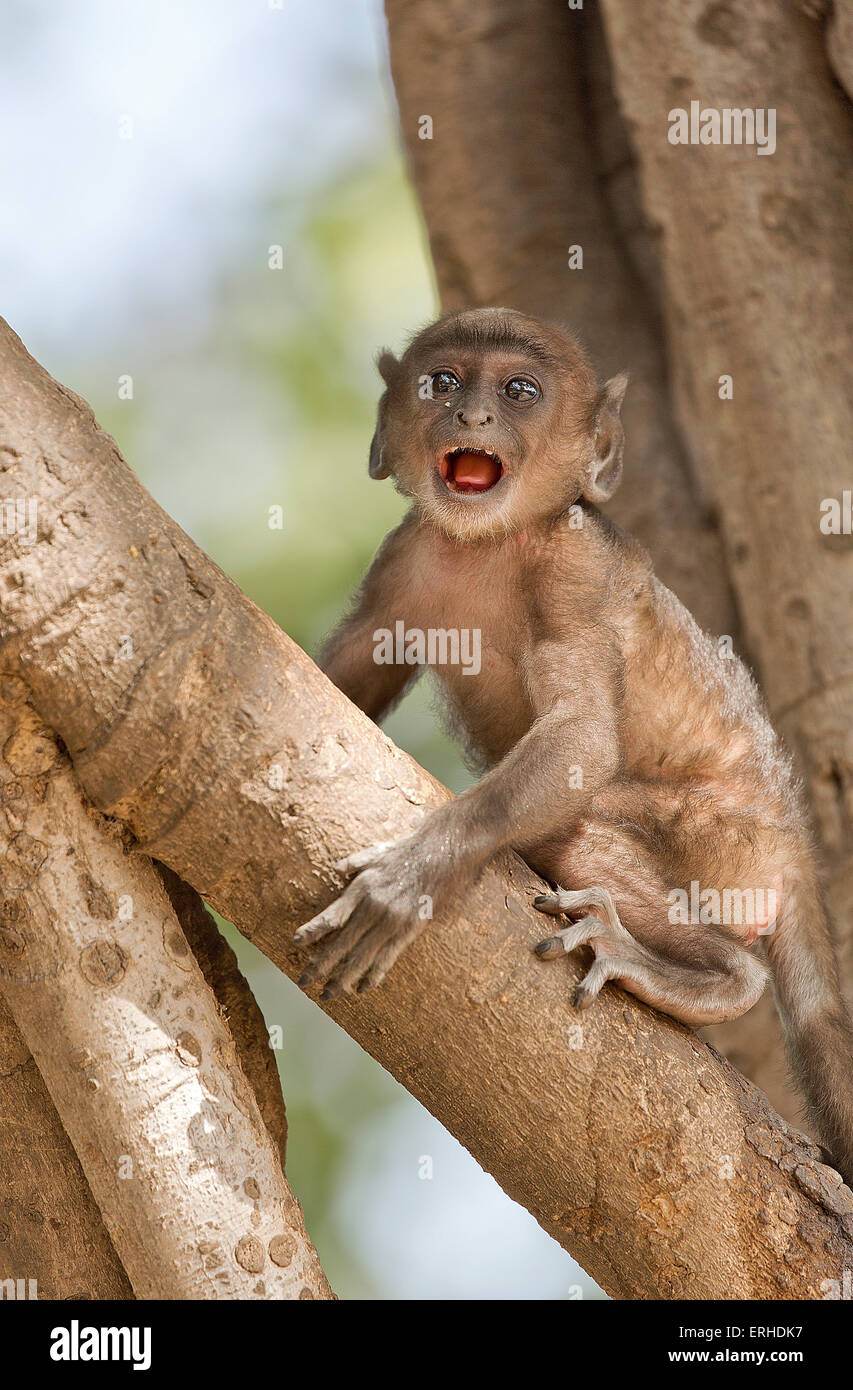 A baby monkey is scared when left alone on a tree - Stock Image