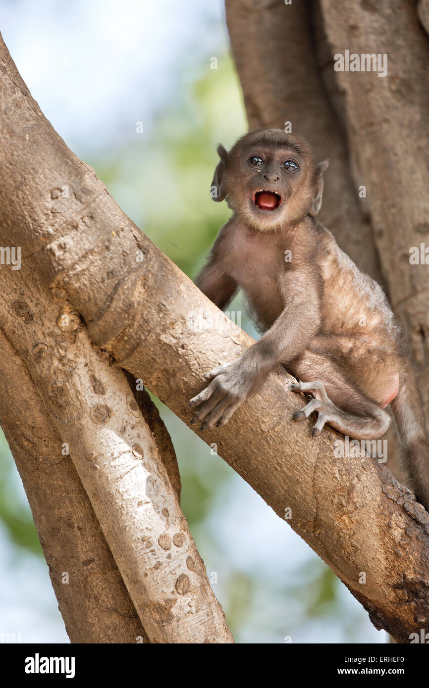 A small baby monkey is scared sitting alone on a tree - Stock Image