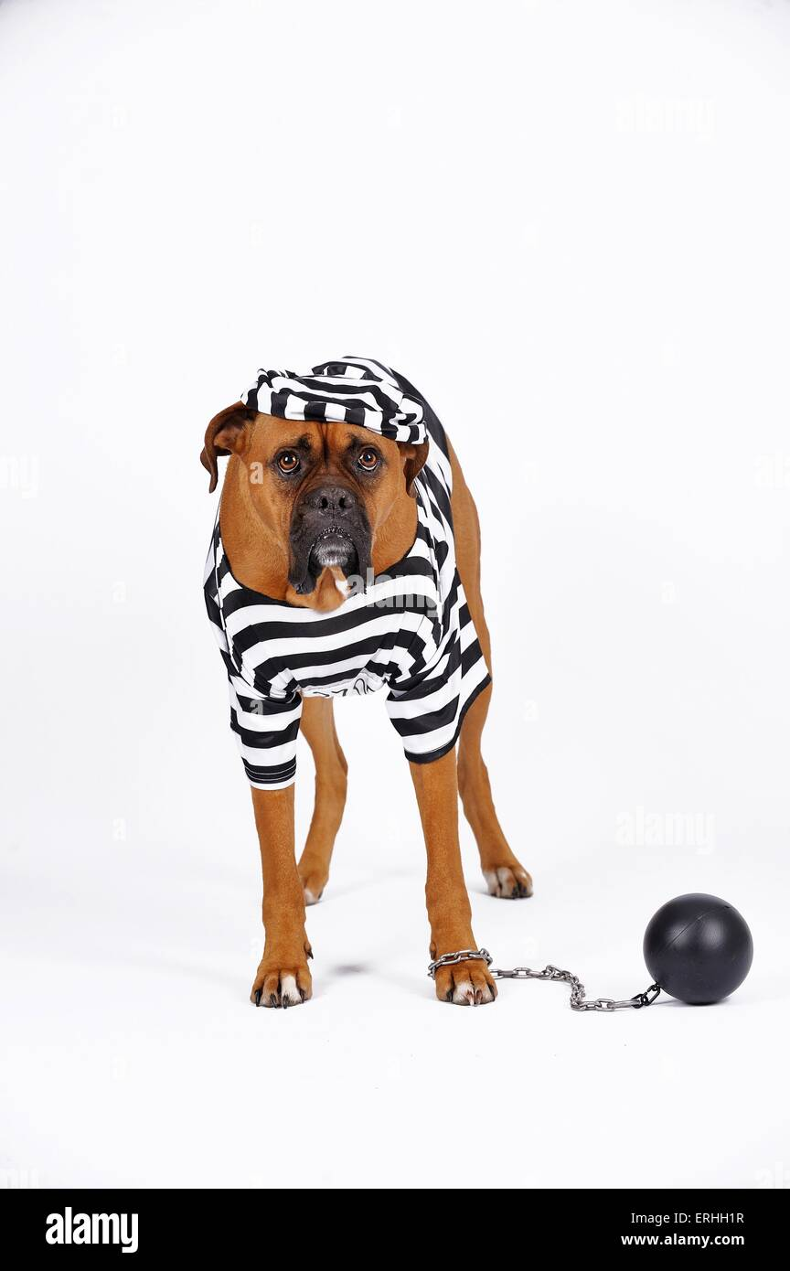 German Boxer as prisoner Stock Photo