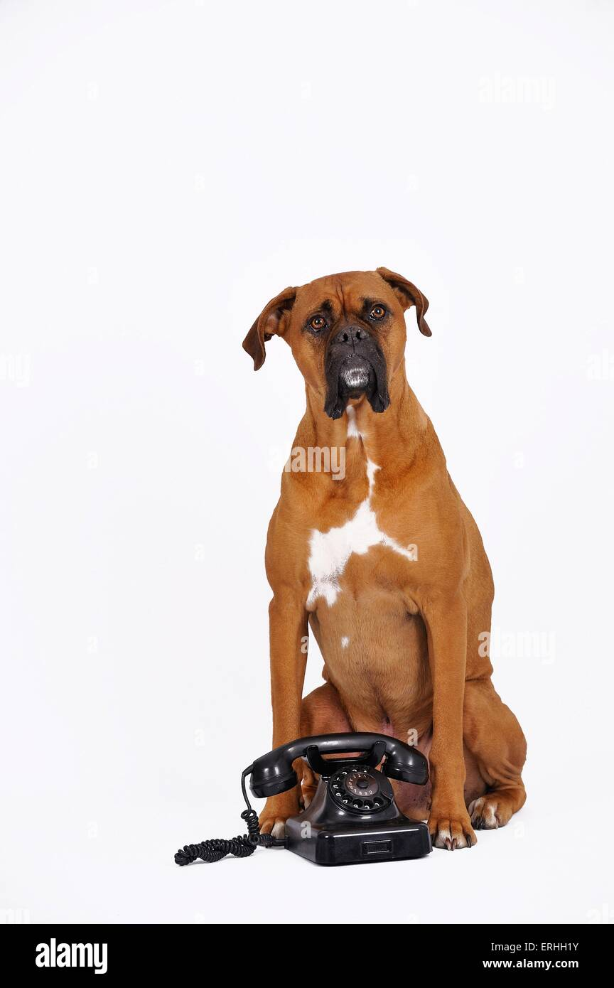 German Boxer with telephone Stock Photo
