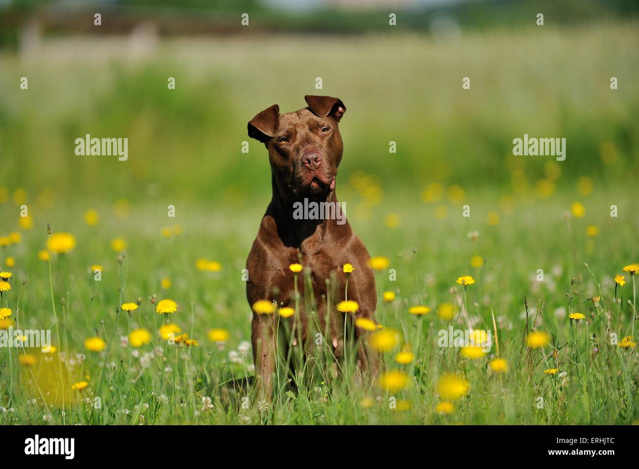 sitting American Pit Bull Terrier - Stock Image