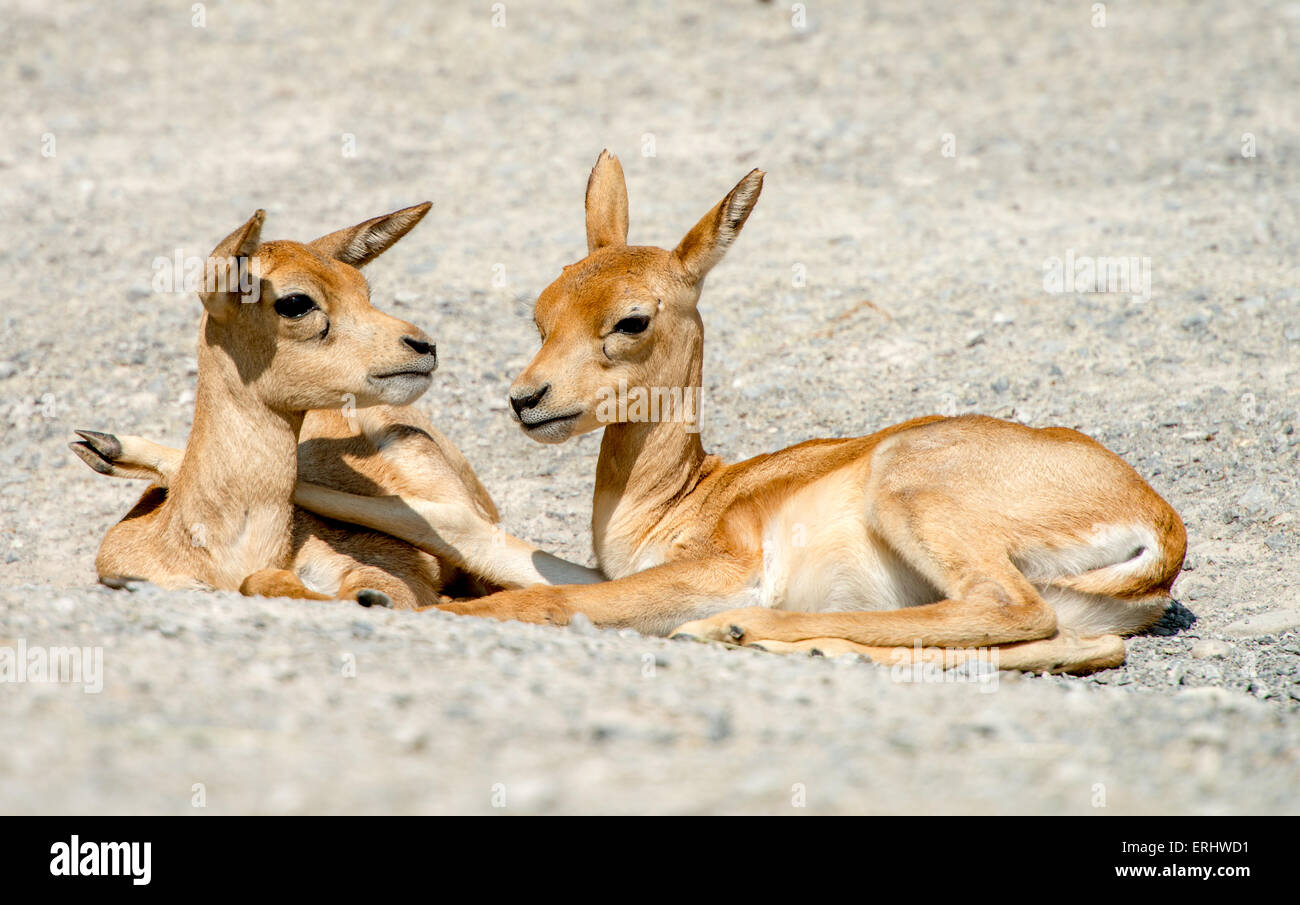 Young blackbucks lying closely together - Stock Image