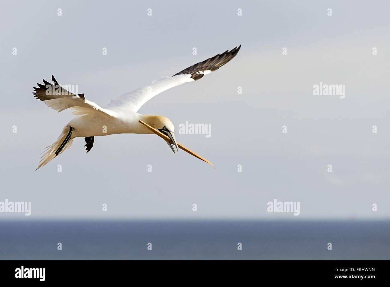 northern gannet - Stock Image