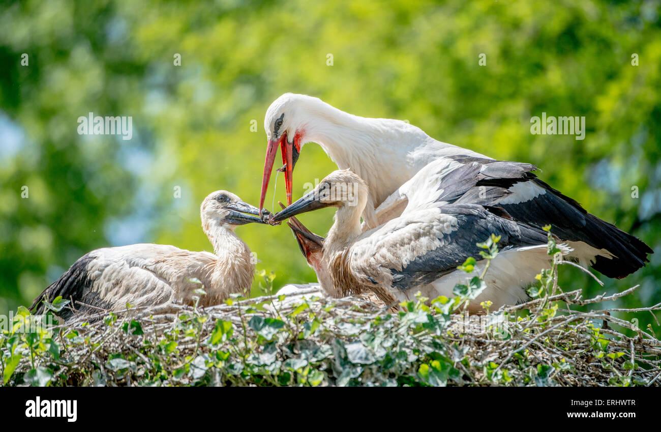 Mother stork feeding its chicks Stock Photo