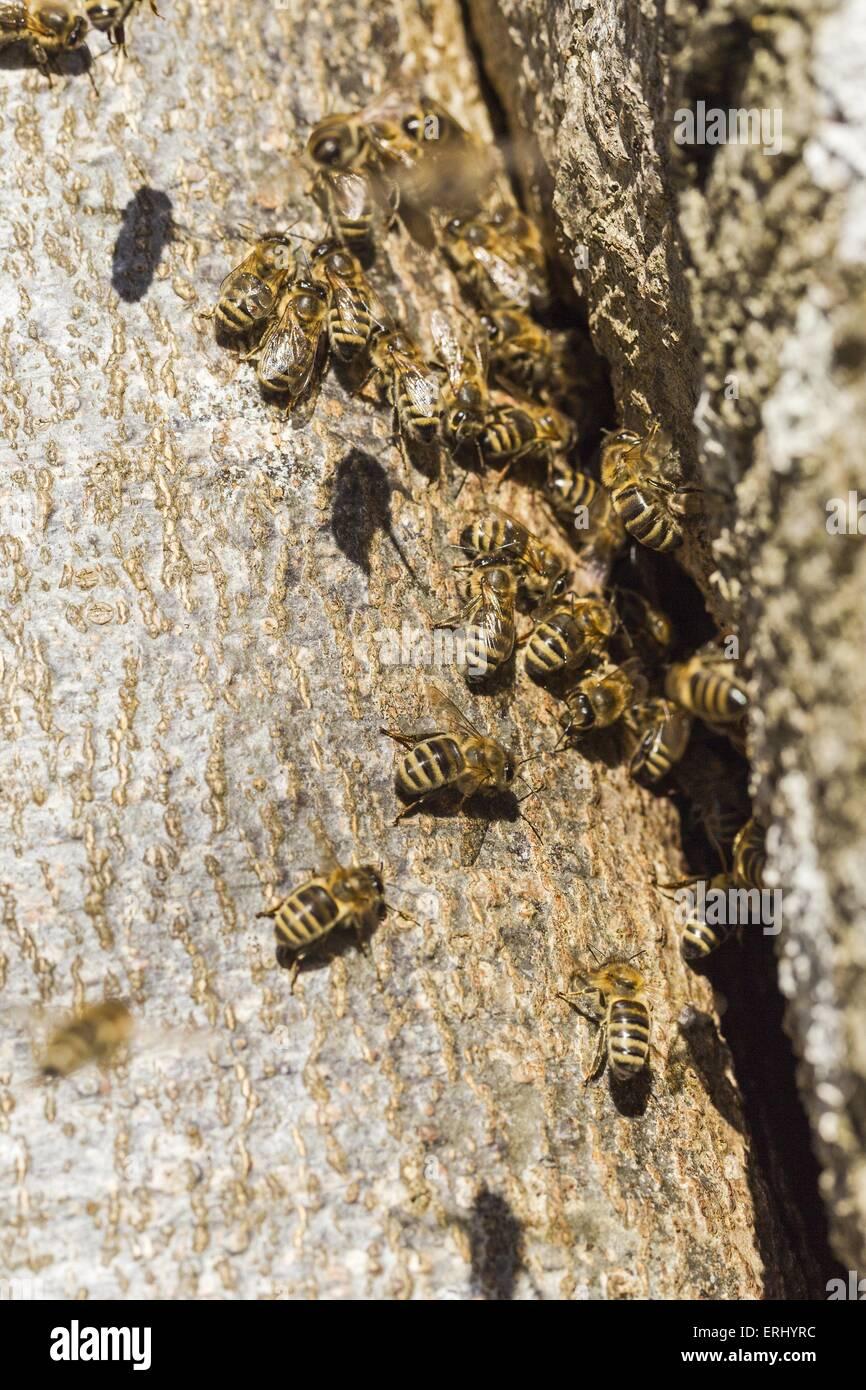 wild bees - Stock Image
