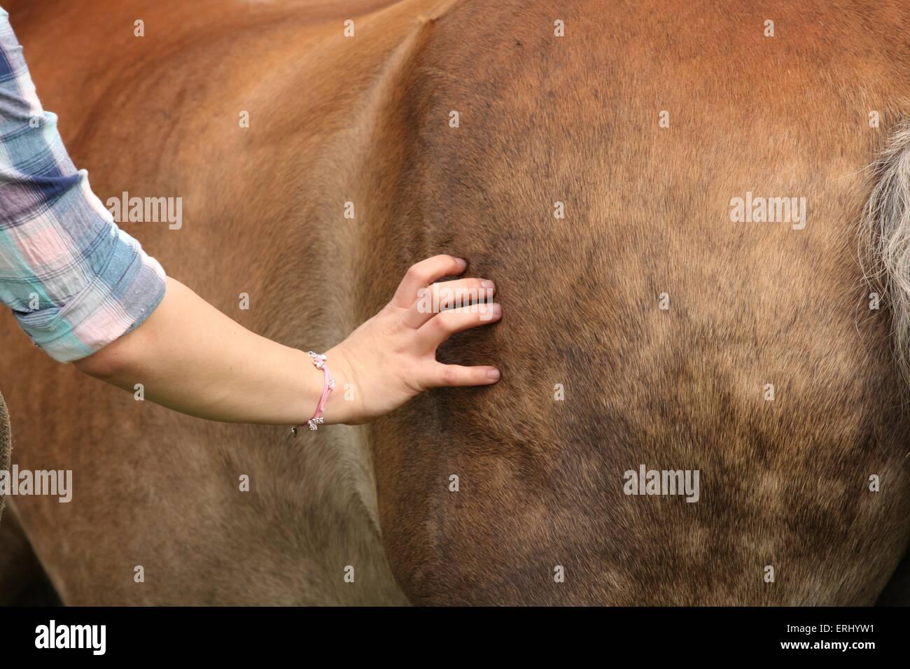 knead a Haflinger horse - Stock Image