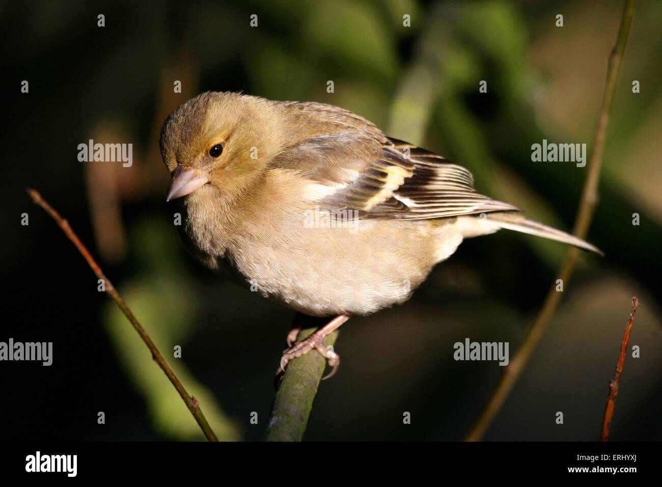 Chaffinch - Stock Image