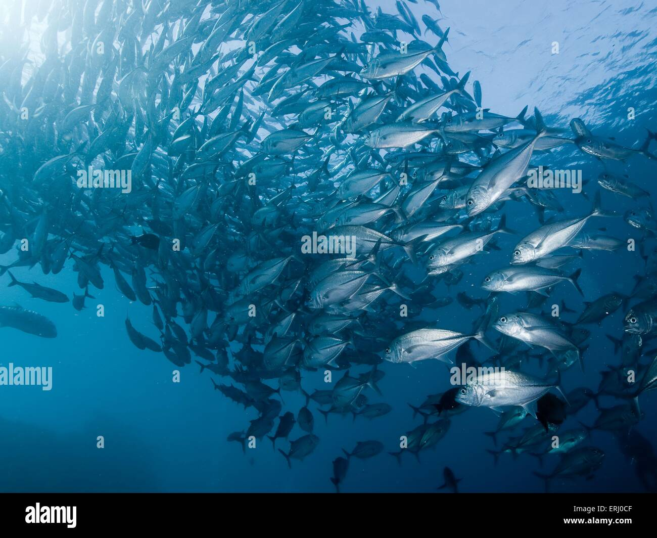 big eyed trevally - Stock Image