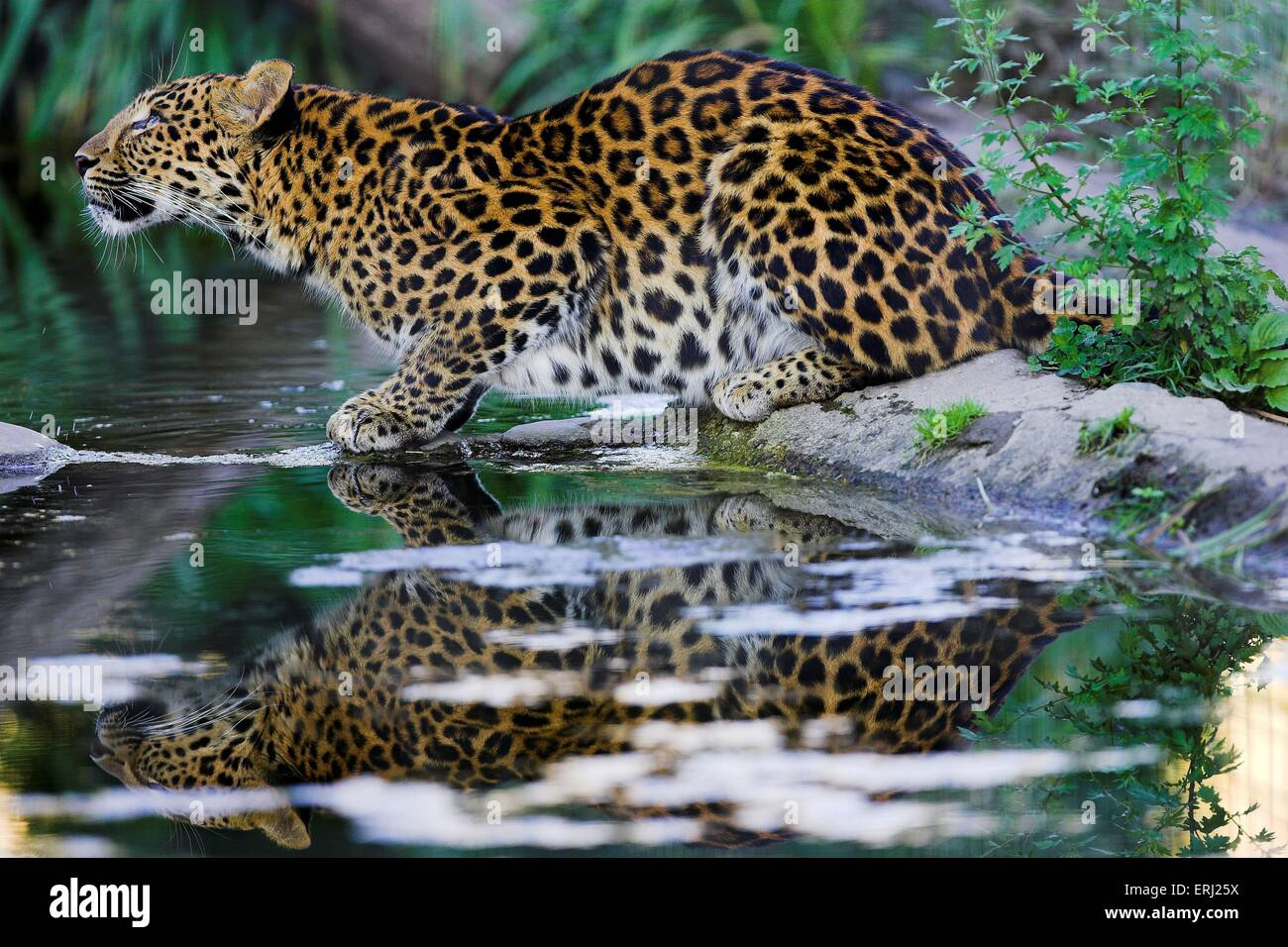 chinese leopard - Stock Image