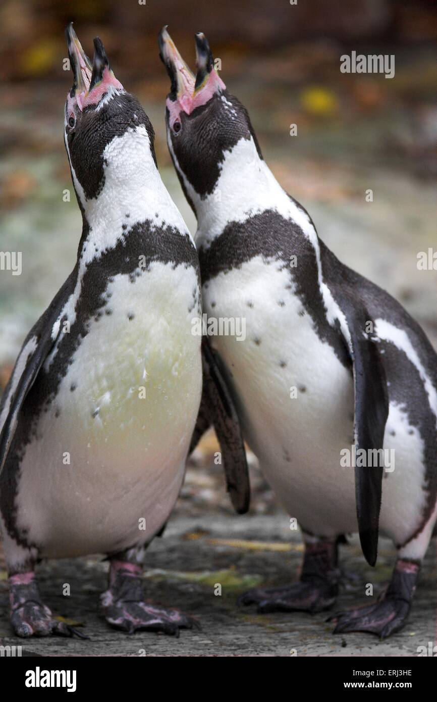 penguins perform the courtship display Stock Photo