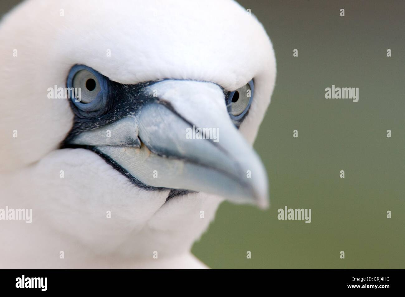 northern gannet - Stock Image