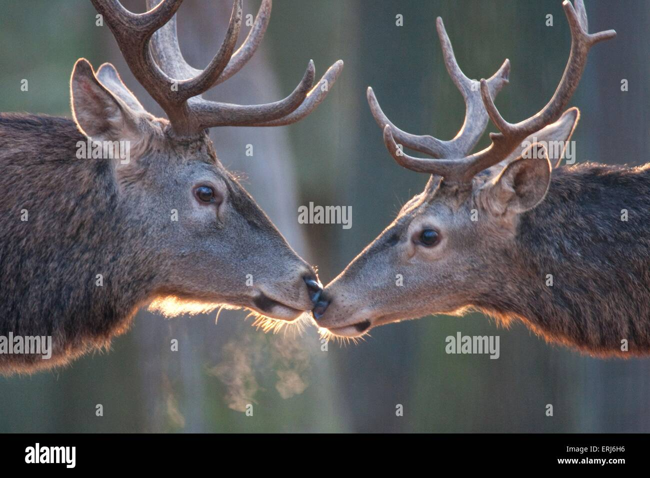 red deer - Stock Image