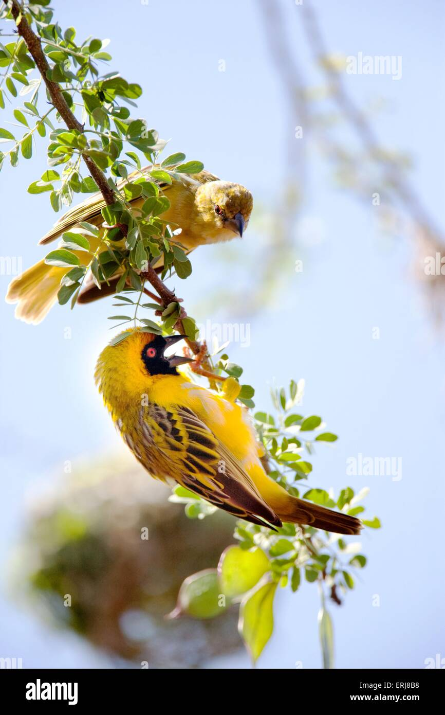weaver birds - Stock Image