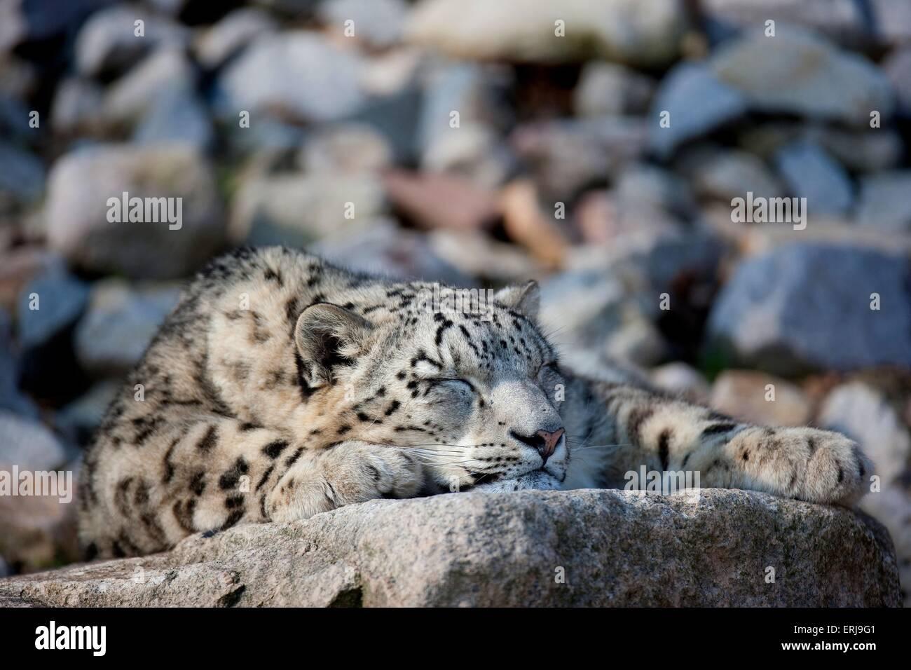 snow leopard - Stock Image