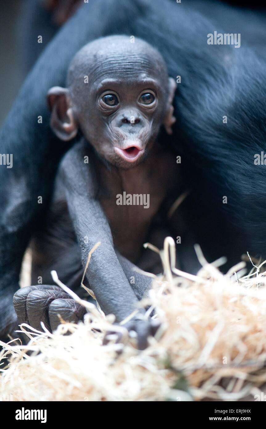 bonobo baby - Stock Image