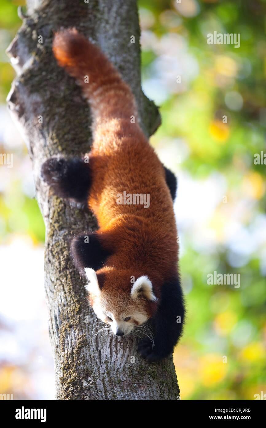 lesser panda - Stock Image