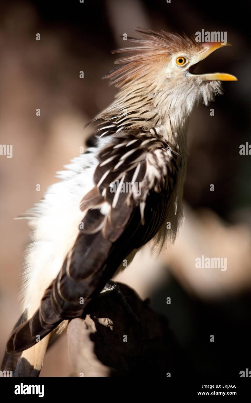 guira cuckoo - Stock Image