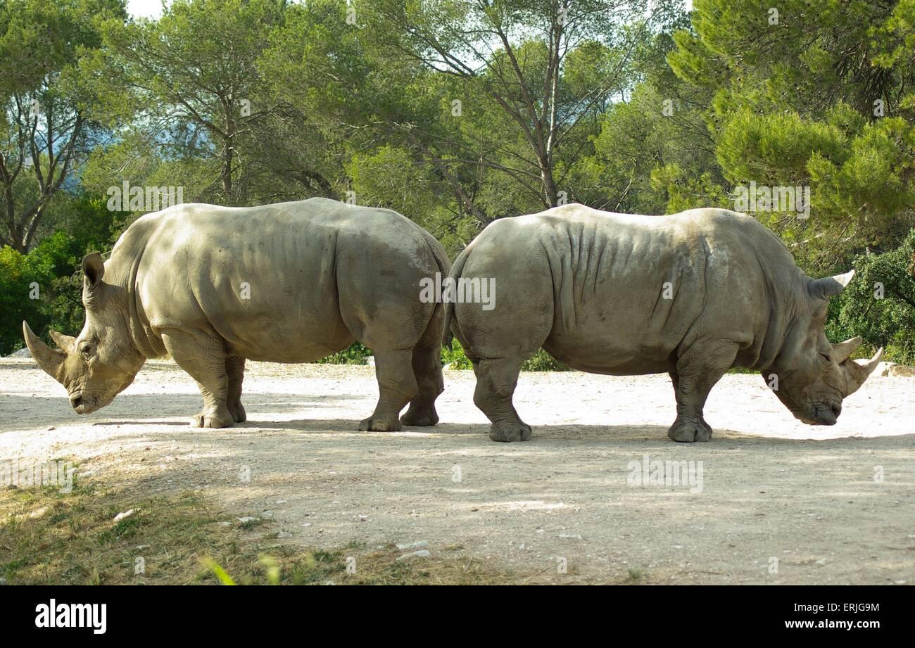 Rhinoceros - Stock Image