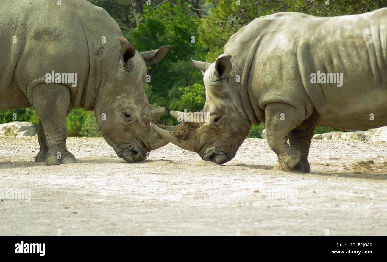 Rhino - Stock Image