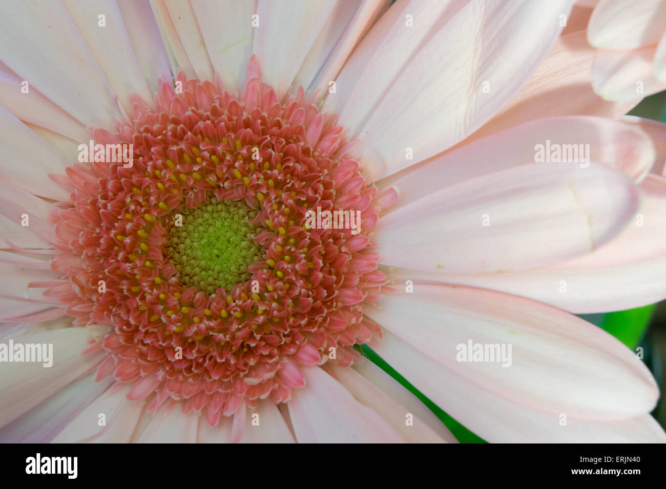 Macro image of a pink flower with a detailed center - Stock Image