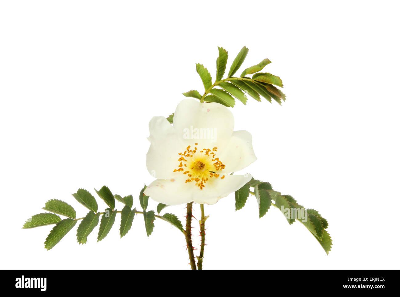 Dog rose, Rosa canina, flower and foliage isolated against white - Stock Image
