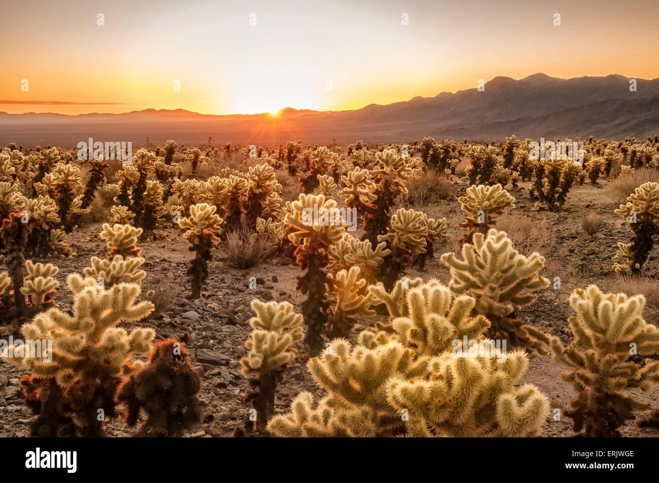 Cholla Cactus Garden At Sunrise Joshua Tree National Park Stock Photo 83393758 Alamy
