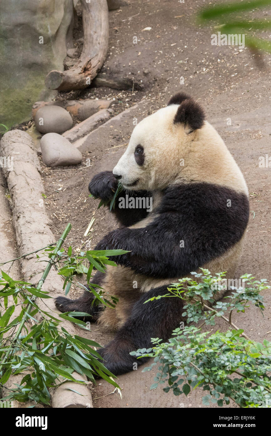 """Giant Panda Bear"" Cub at San Diego Zoo. Stock Photo"