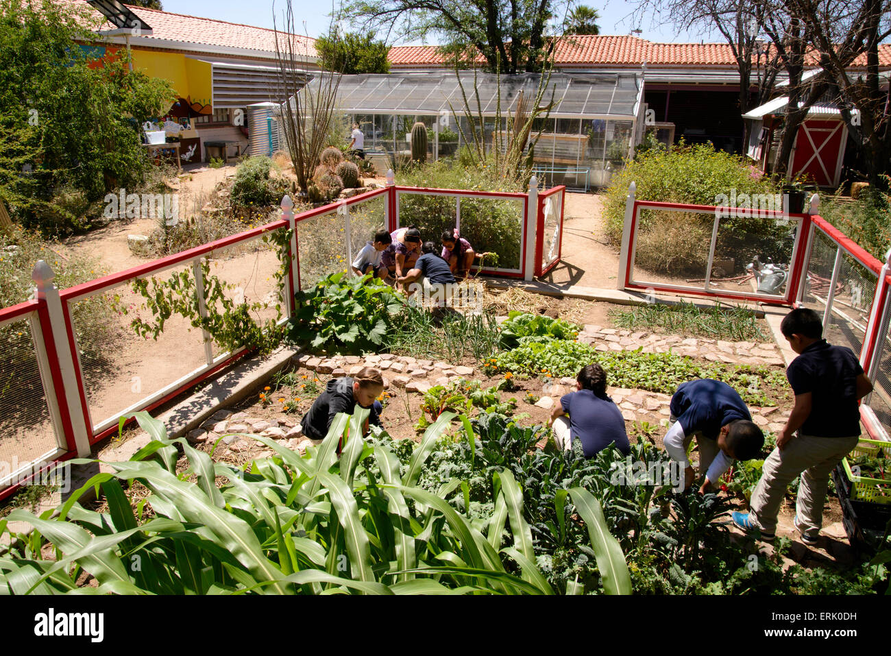 Manzo Elementary School Students Work In The Schoolu0027s Organic Garden, Tucson,  Arizona, USA.