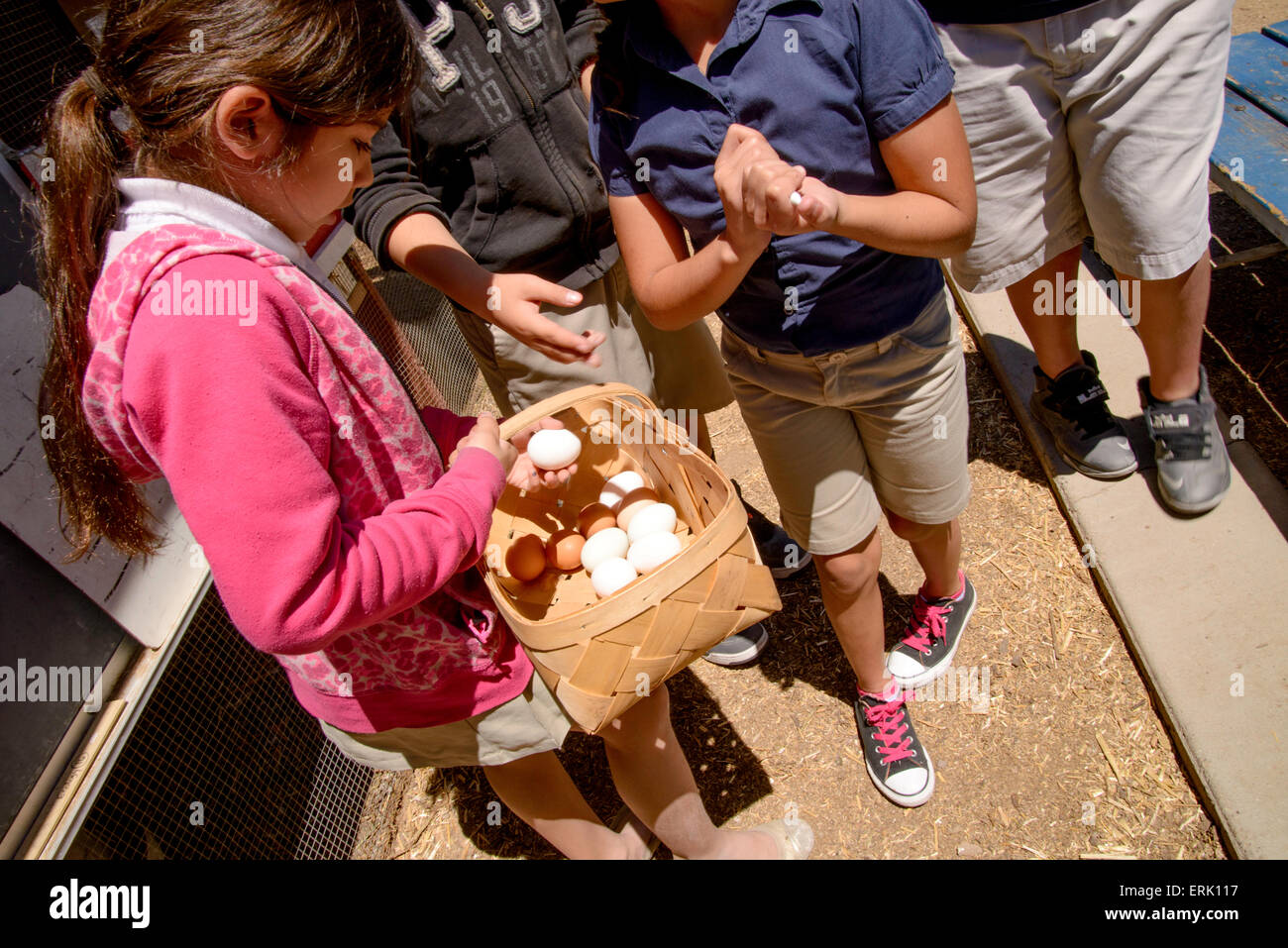 Manzo Elementary School 4th grade students collect eggs from the chickens in the school's organic garden, Tucson, - Stock Image