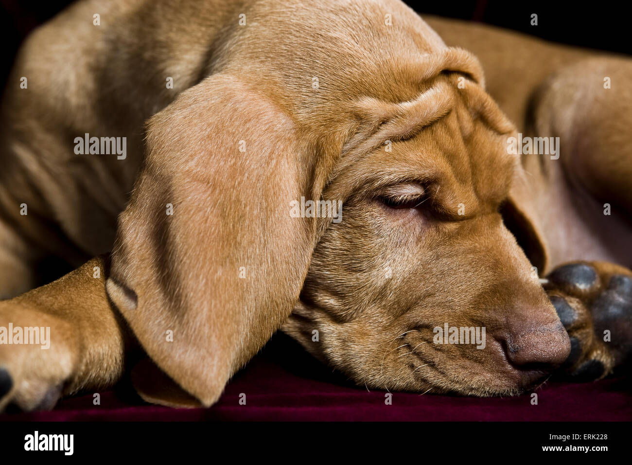 studio close up of young Vizsla puppy curled up sleeping with big floppy ears and extra wrinkles on his brow and - Stock Image
