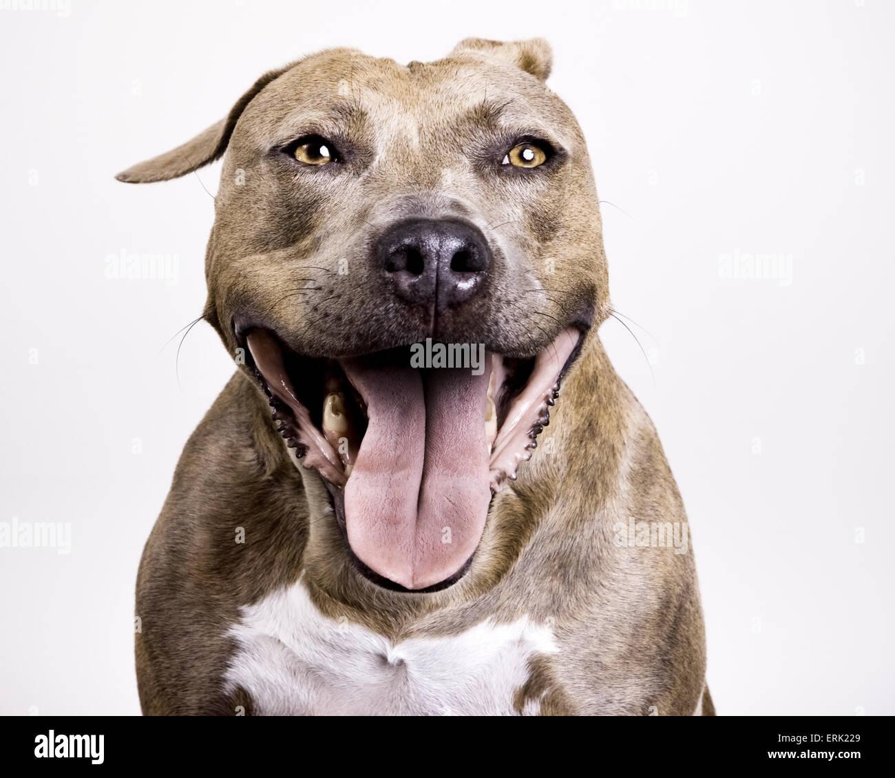 pitbull dog teeth stock photos pitbull dog teeth stock images alamy