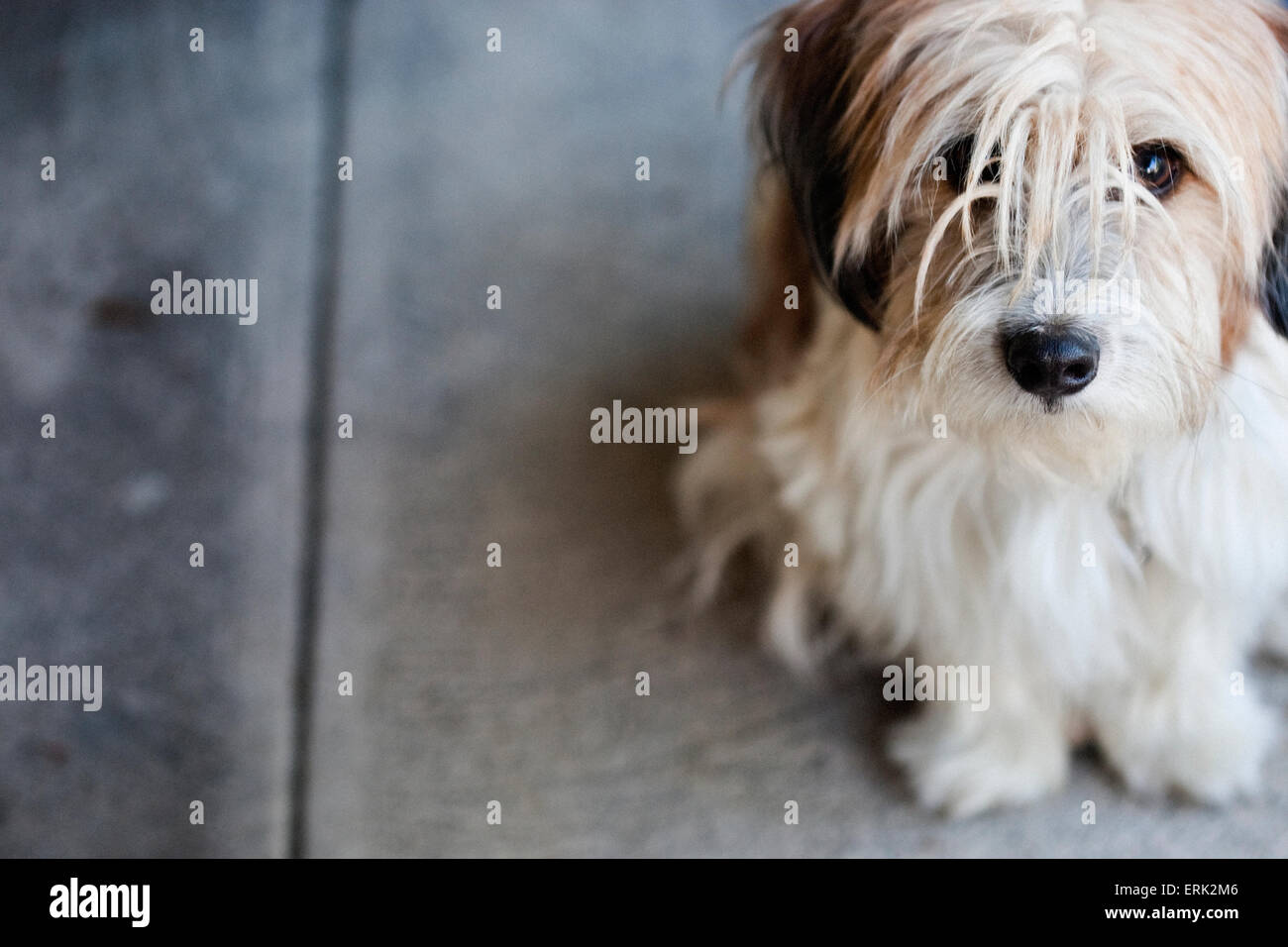outdoor portrait of lonely small cute scruffy terrier mix dog looking up sitting on concrete sidewalk - Stock Image